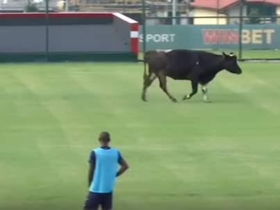 Выбежавший на поле бык едва не сорвал матч в Болгарии